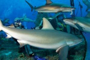 На Багамах запретили охотиться на акул