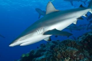 Дайверы готовятся к «охоте» на акул